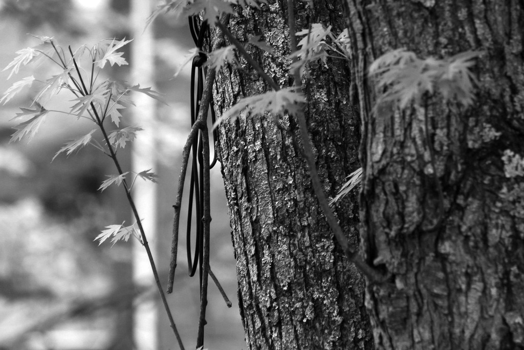 Cord hanging from a tree trunk by mittens