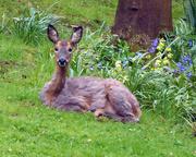 13th May 2016 - Oh deer!