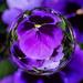 Marblecam Viola by jocasta