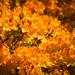 Orange Azaleas by dorsethelen