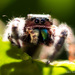 Fang, the Jumping Spider by stefneyhart