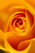 13th May 2016 - Yellow rose