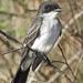 Eastern King Bird by rob257