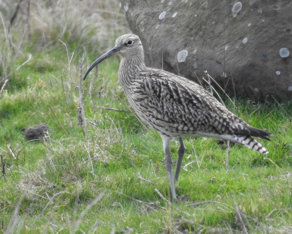 Curlew and Rock by barneyone