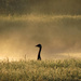 Goose in Silhouette by milaniet
