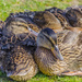 Young Ducklings  by tonygig