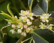 14th May 2016 - Holly flowers