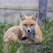 mother fox by aecasey