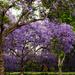 Jacaranda Forest by Weezilou