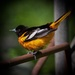 Baltimore Oriole by berelaxed