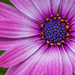 African Daisy by jeetee