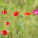 Poppy Impressions by dorsethelen