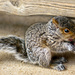 Baby Squirrel by dianen