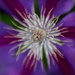 My Clematis are Blooming!