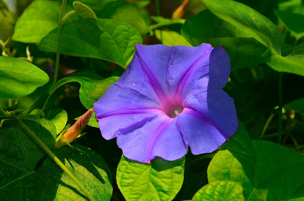 Morning glory by congaree