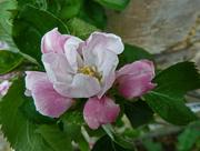 18th May 2016 - Apple blossom
