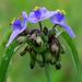 Spiderwort by milaniet