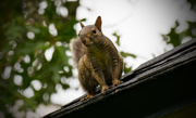18th May 2016 - Squirrel on my Roof!