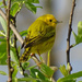 Yellow Warbler by annepann