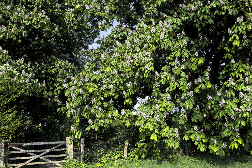 Horse Chestnut Trees by megpicatilly