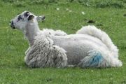 19th May 2016 - The way fashionable sheep are wearing their fleece this spring!
