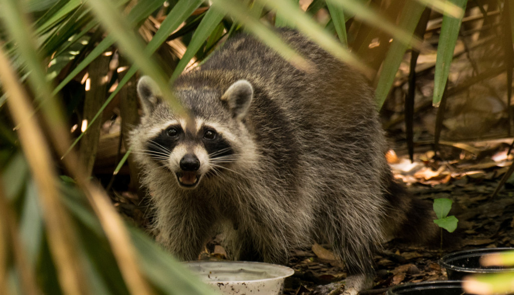 Rocky Raccoon Dining Out! by rickster549