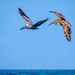 A pair of pelicans by danette