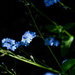 forget-me-not by jackies365