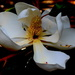 Bloom, Southern Magnolia, Magnolia grandiflora by congaree
