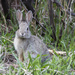 Cute Cottontail