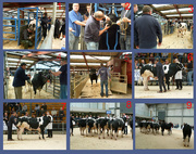 20th May 2016 - British Blue cattle sale and show