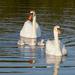 Strolling Swans