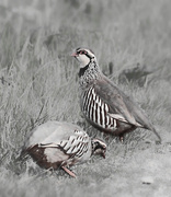 21st May 2016 - Partridge