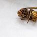 Hornets! Hornets!