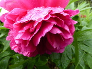 22nd May 2016 - Peony after the rain!