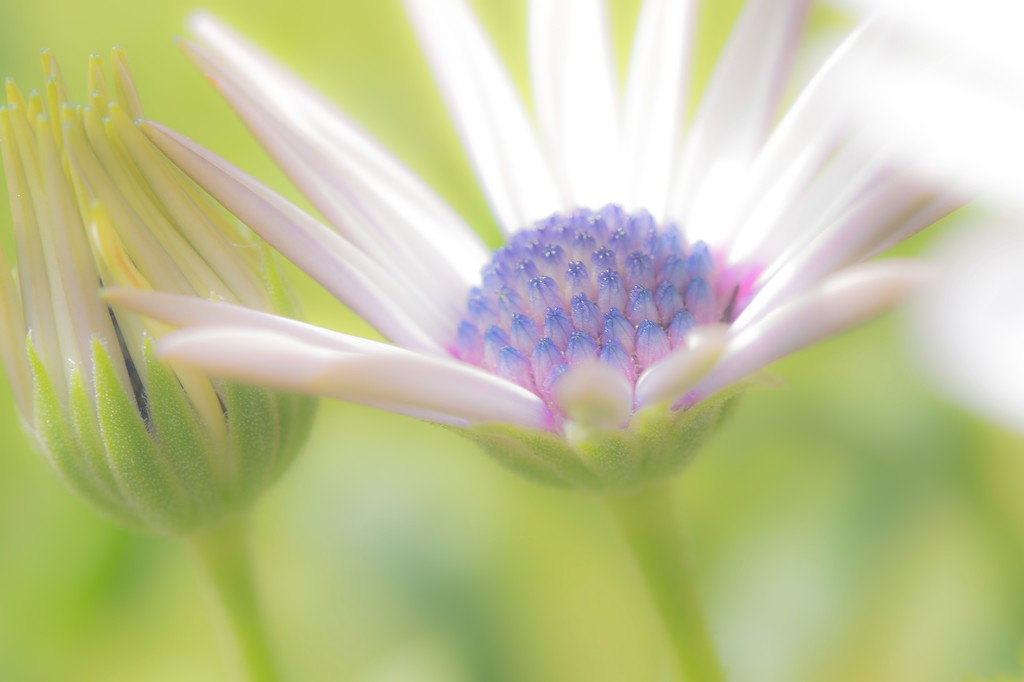 Osteospermum opens its arms to the sunshine by pistache