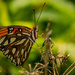 Yeah, another Gulf Fritillary Butterfly! by rickster549