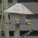 European goldfinch (Carduelis carduelis) - Tikli, Steglits