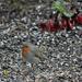 European robin (Erithacus rubecula) - Punarinta, Rödhake