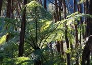 23rd May 2016 - Sunlit Tree fern
