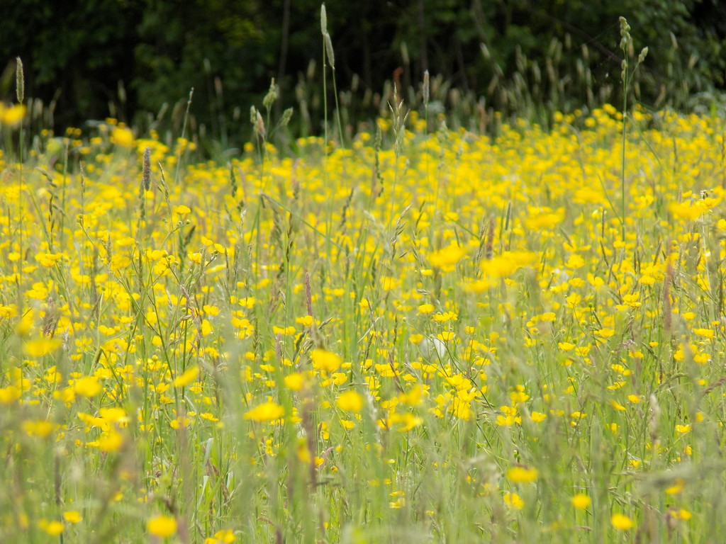 Buttercups and grasses by flowerfairyann