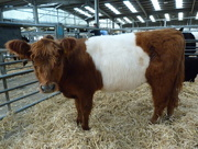 23rd May 2016 - Red Belted Galloway cow