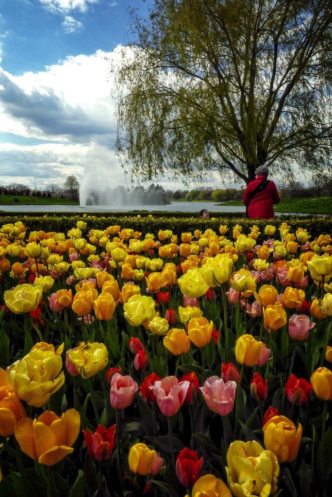 The Obligatory Spring-Tulips Photo! by Weezilou