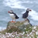 Puffins by susiemc