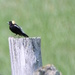 Bobolink Off In The Distance