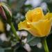 Mini Rose. by tonygig