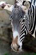 10th May 2016 - 2016 05 10 - Lincoln Zoo Zebra