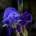 Iris in Blue