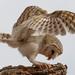 Barn owl beauty by flyrobin