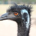 Old Man Emu . . . . Reprise by terryliv